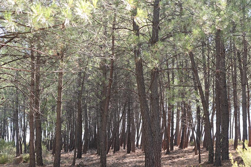 Gata-Villabuenas pinar