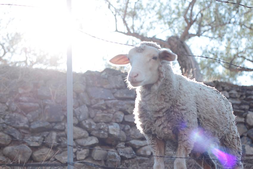 Gata-Villasbuenas oveja
