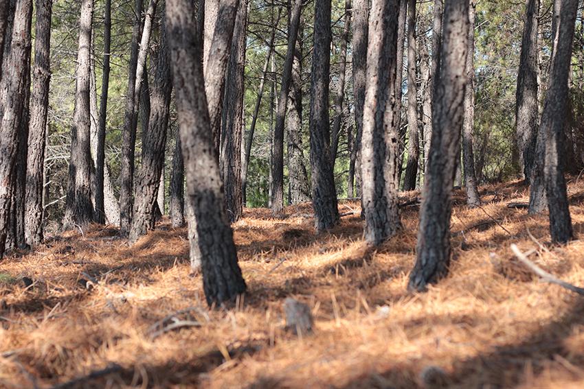 Gata-Villasbuenas pinar