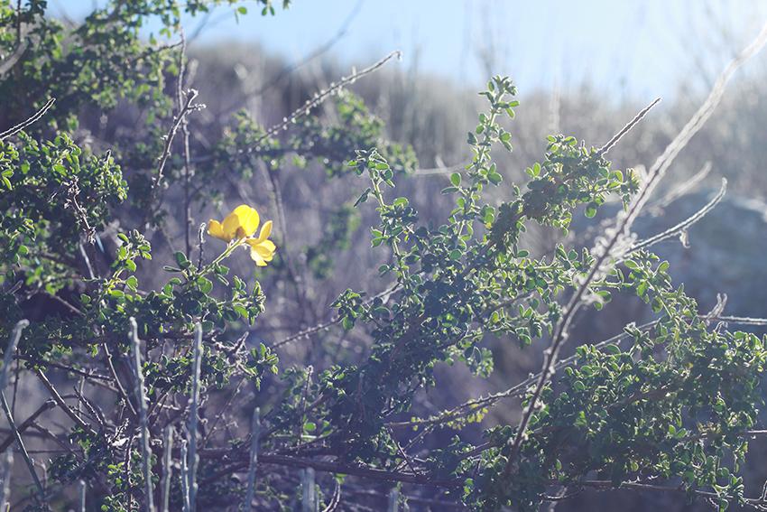 cilleros sierra flor amarilla